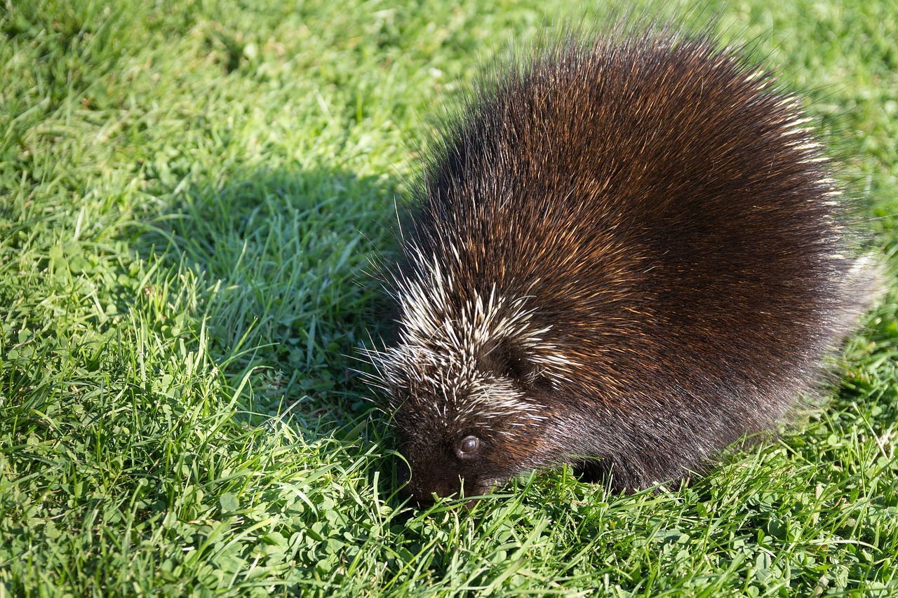 porcupine removal