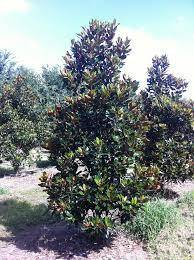 Low branch compact magnolia
